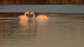 Free Swans Stock Image - 88916841