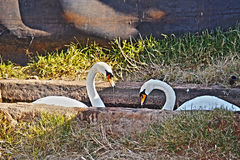 swans Royaltyfri Bild