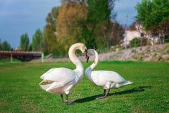 swans Arkivbild