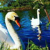 Swans1 стоковая фотография rf