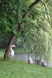 Swans. Family of swans brushing water off after leaving pond Stock Image