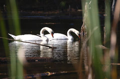 Swans. At the Park Stock Image
