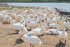 Swans at Abbotsbury Dorset. Group of swans at Abbotsbury swannery in Dorset Stock Photography
