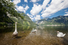 Swans at the alpine lake. Swans at the alpine mountain lake royalty free stock photography