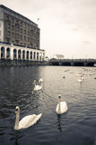 Swans on an Alster canal, Hamburg royalty free stock photos