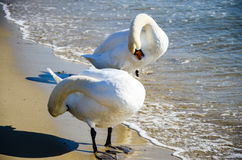 Swans. Amazing  elegant white  swansat the winter  sea Stock Photo