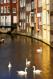 Swans in Amsterdam Royalty Free Stock Photography