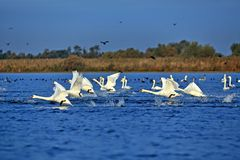 Free Swans And Coots Taking Off From Ligheanca Lake, Danube Delta, Tulcea County, Romania Stock Images - 156927284