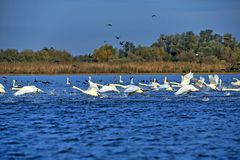 Free Swans And Coots Taking Off From Ligheanca Lake, Danube Delta, Tulcea County, Romania Royalty Free Stock Photos - 156927548