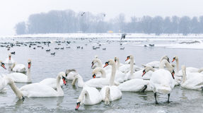 Swans And Duck Swim In Frozen River Royalty Free Stock Photos