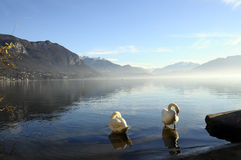 Swans on Annecy lake in France Stock Image