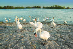 Swans in anticipation of feeding on the shore of the Rhine river Stock Photos