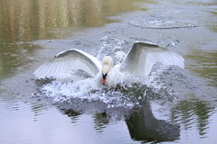 Swans anxiety. Swan attack me while i took a photo Stock Photo