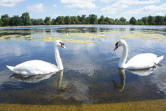 Swans approaching in a lake stock images