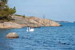 Swans in the arcipelago Stock Image