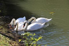 Swans Are Extremely Elegant And Noble Looking Birds Stock Images