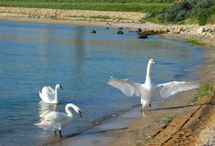Swans arrived at the Black Sea. Three swans arrived at the Black Sea getting used to be feed by people Stock Photo