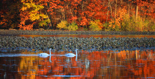 Swans and autumn reflection. Two swans in the lake with autumn reflection Royalty Free Stock Images