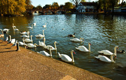Swans on the Avon river Stock Images