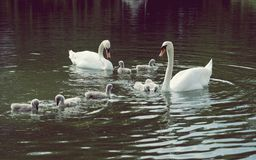 Swans with babies on lake Stock Photo