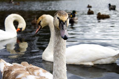 Swans with baby birds Stock Photography