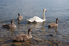 Swans with Baby Swans in Lake Geneva Royalty Free Stock Images