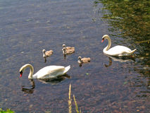 Swans with baby swans Royalty Free Stock Image
