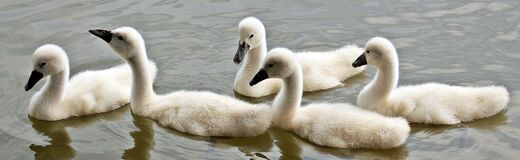 Swans, Baby Swans, Water, Waterfowl Stock Photo