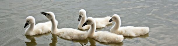 Swans, Baby Swans, Water, Waterfowl Royalty Free Stock Images