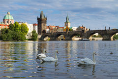 Swans with background of Charles bridge Royalty Free Stock Images