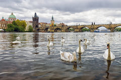 Swans on the background of Charles Bridge in Prague, Czech Repub Royalty Free Stock Image
