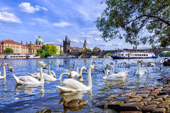Swans on the background of Charles Bridge in Prague, Czech Repub Stock Photography