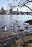 Swans on background of Charles Bridge in Prague Stock Photos