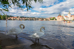 Swans with background of Charles bridge Stock Photos