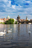 Swans with background of Charles bridge Royalty Free Stock Photo