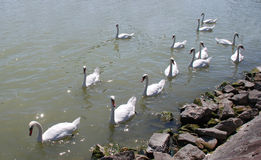 Swans on Balaton Royalty Free Stock Photos