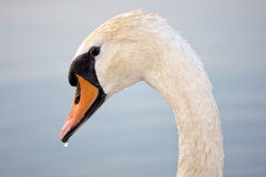 Swans on Balaton lake Stock Photo