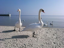 Swans and Baltic stock photography