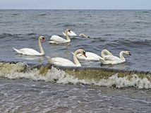 Swans on the Baltic coast. Group of swans on the Baltic coast Stock Image