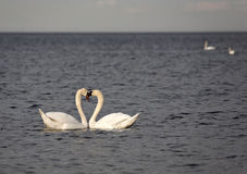Swans in the Baltic sea. Royalty Free Stock Photos