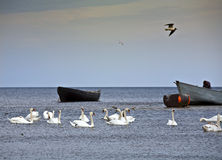 Swans in the Baltic sea. Stock Photo