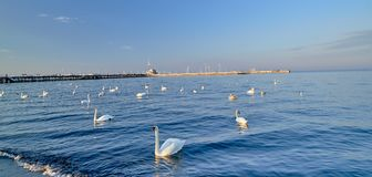 Swans on the Baltic Sea in Sopot Poland stock photo