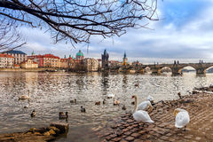 Swans on the bank of Vltava river in Prague. Stock Photos