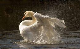 Swans Bath time