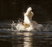 Swans Bath time Stock Images