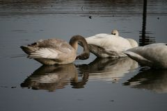 Swans bathing in a Minnesota lake. royalty free stock image