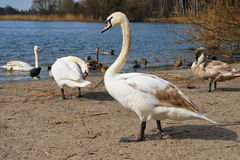 Swans on the Beach. Close-up photo of a swan on a beach in Germany Stock Images