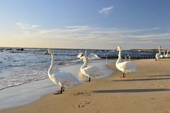Swans on beach Stock Image