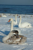 Swans on the beach. Swans on the snowy beach in Poland/Central Europe/Baltic Sea royalty free stock photo