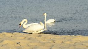 Swans on a beach stock footage